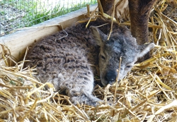 Lambs & Drams -- Adults Meet the Animals Apr 26 & 27